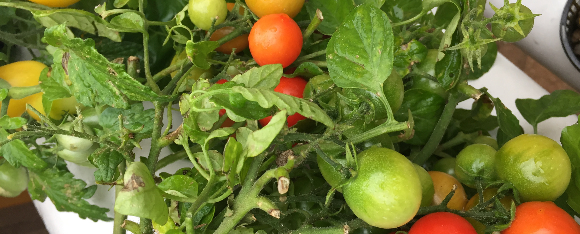 Summer Tomatoes (container versions)